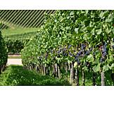 Vines, Viticulture