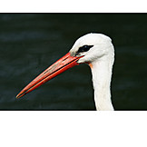 Beauty, Animal Portrait, White Stork