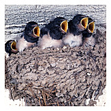 Young animal, Swallow, Barn swallow, Swallow nest