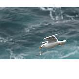 Sea, Flying, Seagull