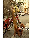 Humor & bizarre, Bicycle, Dog, Poodle