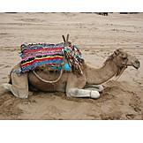 Camel, Dromedary camel