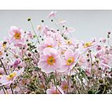 Blossom, Anemones