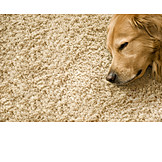 Sleeping, Dog, Carpet, Golden retriever