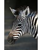 Animals, Zebra