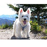 Dog, Terrier, West highland terrier