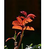 Leaf, Rose drive