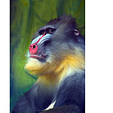 Animals, Monkey, Multi Colored, Mandrill