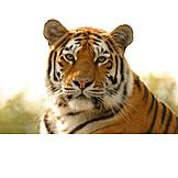 Wildlife, Predator, Tiger