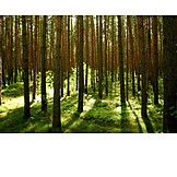 Forest, Pine forest
