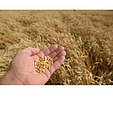Wheat, Harvest, Check