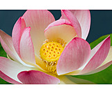 Water lily, Lotus blossom