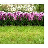 Park, Garden, Flower bed, Hyacinth