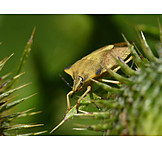 Animals, Tree Bug, Shield Bug