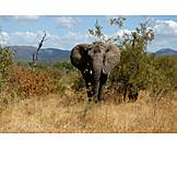 Wildlife, Elephant, African Bush Elephant