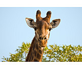 Wildlife, Giraffe, Animal Head