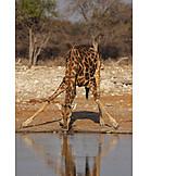 Nutrition & Eating, Wildlife, Giraffe
