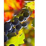 Grape, Autumn