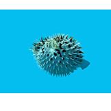 Balloonfish, Puffer fish