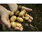 Harvest, Potato, Earthy