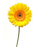 Flower, Gerbera, Gerbera blossom