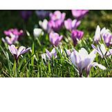 Flower meadow, Crocus