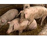 Pork, Mating
