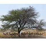 Wildlife, Antelope, Springbok
