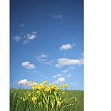 Meadow, Spring, Daffodils