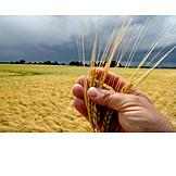 Grain, Hand, Barley, Check
