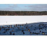 Duck, Reservoir