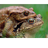 Mating, Toad