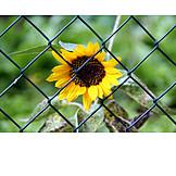 Sunflower, Chainlink fence