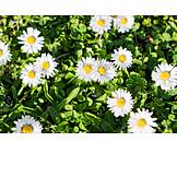 Flower meadow, Daisy