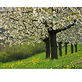 Cherry Tree, Spring, Fruit Tree, Fruit Orchard