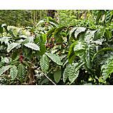 Coffee, Robusta, Coffee plant