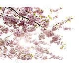 Cherry Blossom, Spring, Fruit Flower