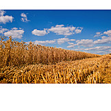 Wheat, Harvest, Wheat Field