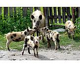 Animal Family, Pork, Animals, Piglet