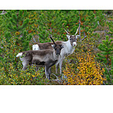 Wildlife, Reindeer