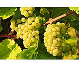 Grape, Vine