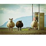 Sheep, Iceland, Gas station