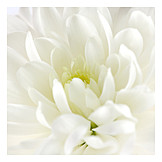 Blossom, Chrysanthemum, Chrysanthemum