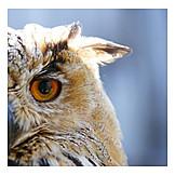 Eagle owl, Owl