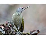 Woodpecker, Gray woodpecker