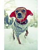 Cold, Dog, Pinscher