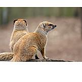 Two Animals, Wildlife, Mongoose