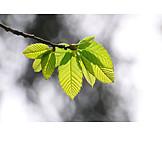 Spring, Leaves, Beech