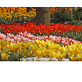 Spring, Tulips, Tulip Bed