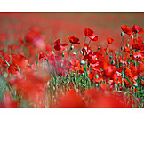 Poppy, Poppies, Poppies, Poppy flower